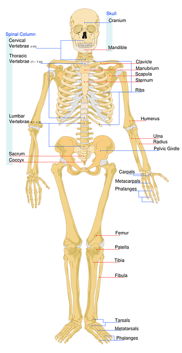The Human Skeletal System – Common Injuries and Fractures